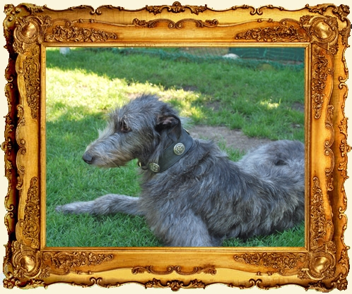 Halsband Deerhound
